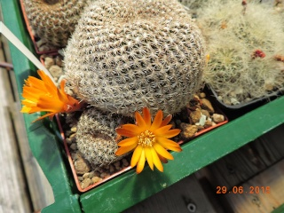 Cacti and Sukkulent in Köln, every day new flowers in the greenhouse Part 126  Bild_254
