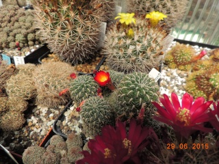 Cacti and Sukkulent in Köln, every day new flowers in the greenhouse Part 126  Bild_263