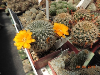 Cacti and Sukkulent in Köln, every day new flowers in the greenhouse Part 126  Bild_264