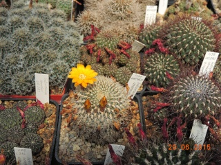 Cacti and Sukkulent in Köln, every day new flowers in the greenhouse Part 126  Bild_265