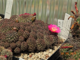 Cacti and Sukkulent in Köln, every day new flowers in the greenhouse Part 126  Bild_269