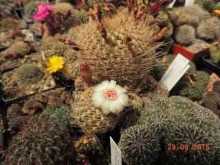 Cacti and Sukkulent in Köln, every day new flowers in the greenhouse Part 126  Bild_270