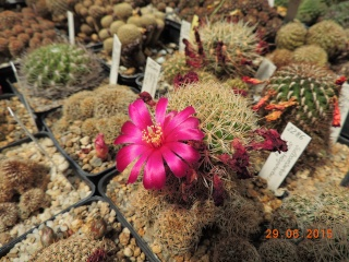 Cacti and Sukkulent in Köln, every day new flowers in the greenhouse Part 126  Bild_271