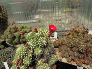 Cacti and Sukkulent in Köln, every day new flowers in the greenhouse Part 126  Bild_272