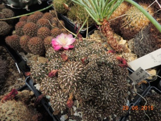 Cacti and Sukkulent in Köln, every day new flowers in the greenhouse Part 126  Bild_273