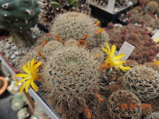 Cacti and Sukkulent in Köln, every day new flowers in the greenhouse Part 126  Bild_275