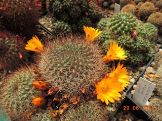 Cacti and Sukkulent in Köln, every day new flowers in the greenhouse Part 126  Bild_276