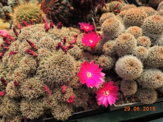 Cacti and Sukkulent in Köln, every day new flowers in the greenhouse Part 126  Bild_280
