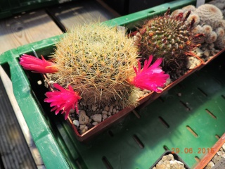 Cacti and Sukkulent in Köln, every day new flowers in the greenhouse Part 126  Bild_282