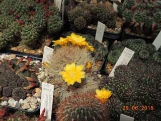 Cacti and Sukkulent in Köln, every day new flowers in the greenhouse Part 126  Bild_285