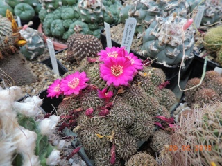 Cacti and Sukkulent in Köln, every day new flowers in the greenhouse Part 126  Bild_291