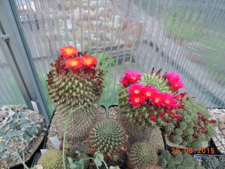 Cacti and Sukkulent in Köln, every day new flowers in the greenhouse Part 126  Bild_292
