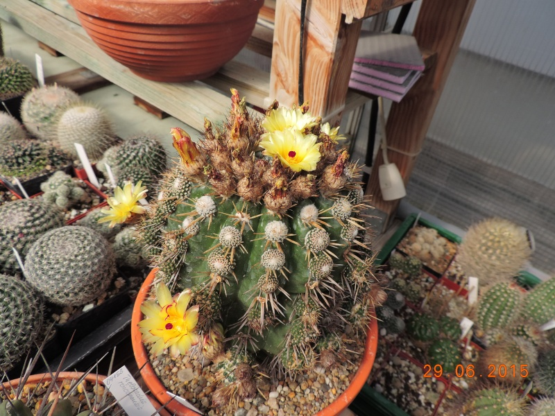 Cacti and Sukkulent in Köln, every day new flowers in the greenhouse Part 126  Bild_296