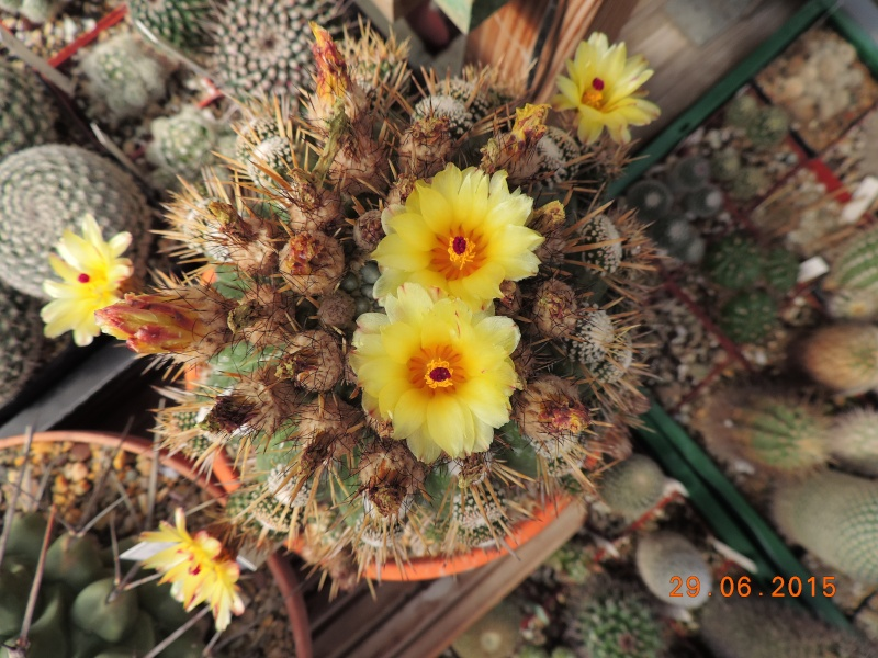 Cacti and Sukkulent in Köln, every day new flowers in the greenhouse Part 126  Bild_298
