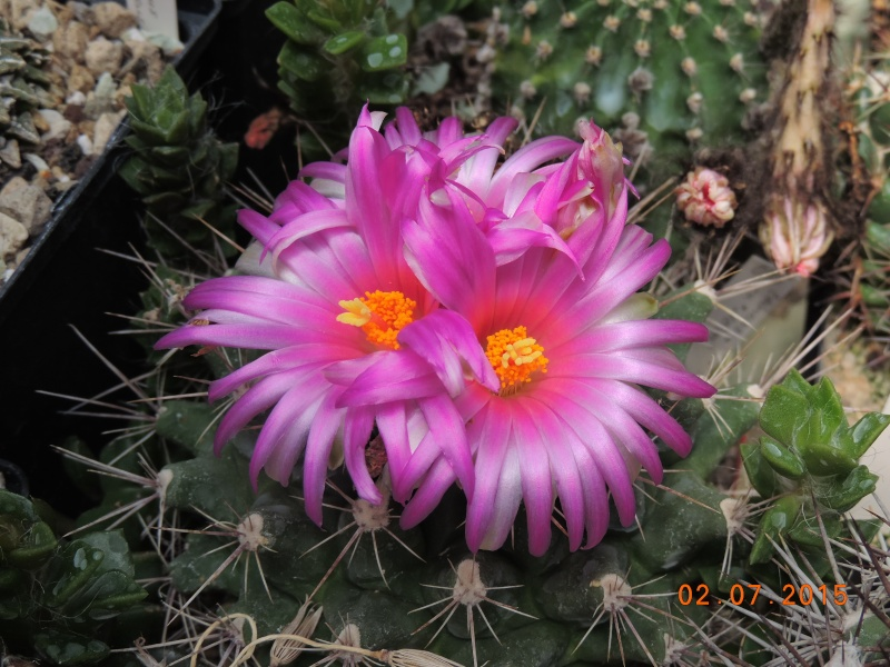 Cacti and Sukkulent in Köln, every day new flowers in the greenhouse Part 126  Bild_303
