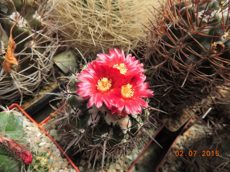 Cacti and Sukkulent in Köln, every day new flowers in the greenhouse Part 126  Bild_305