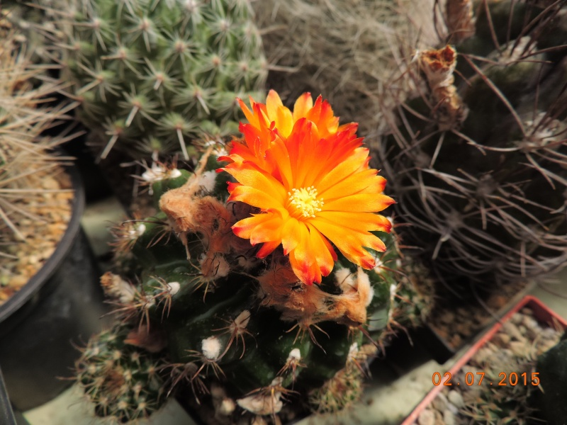 Cacti and Sukkulent in Köln, every day new flowers in the greenhouse Part 126  Bild_306