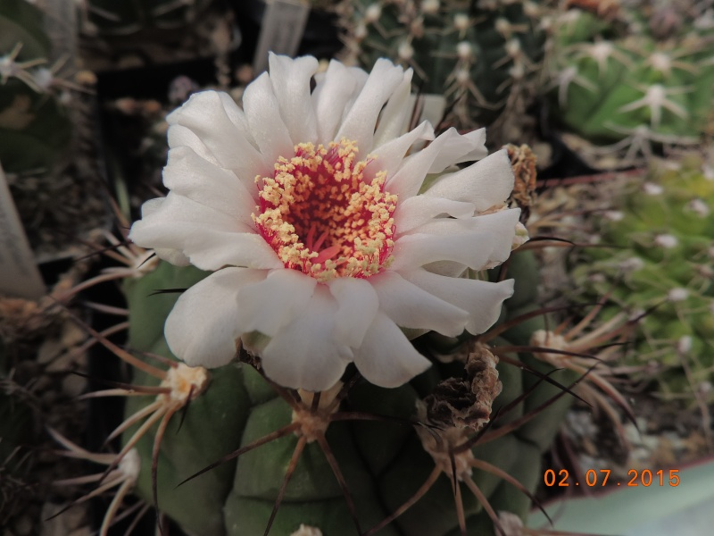 Cacti and Sukkulent in Köln, every day new flowers in the greenhouse Part 126  Bild_307