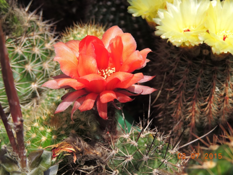 Cacti and Sukkulent in Köln, every day new flowers in the greenhouse Part 126  Bild_314