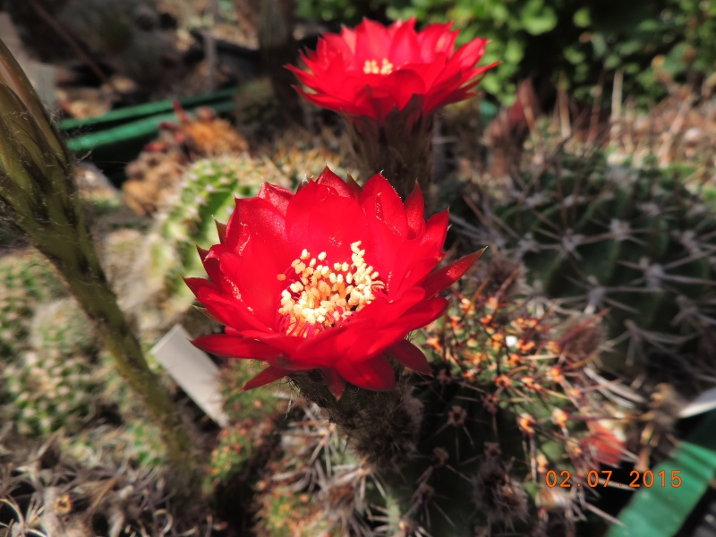 Cacti and Sukkulent in Köln, every day new flowers in the greenhouse Part 126  Bild_316