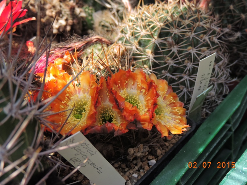 Cacti and Sukkulent in Köln, every day new flowers in the greenhouse Part 126  Bild_317