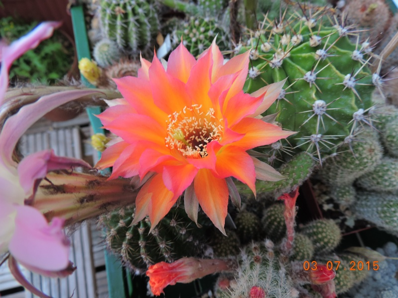 Cacti and Sukkulent in Köln, every day new flowers in the greenhouse Part 126  Bild_329