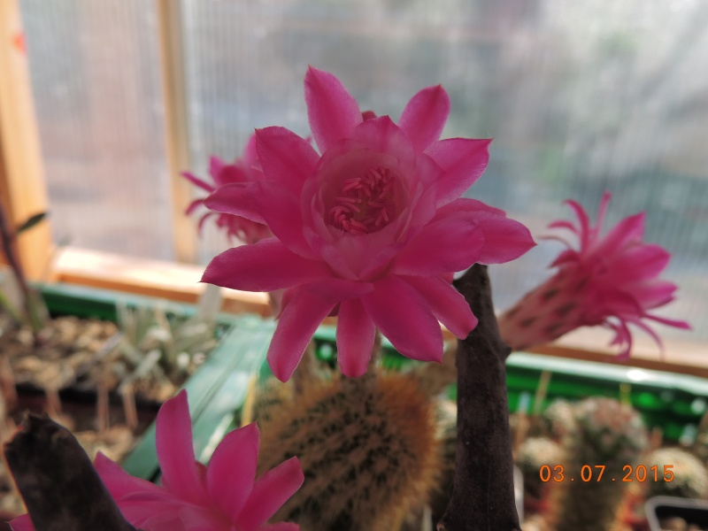 Cacti and Sukkulent in Köln, every day new flowers in the greenhouse Part 126  Bild_331