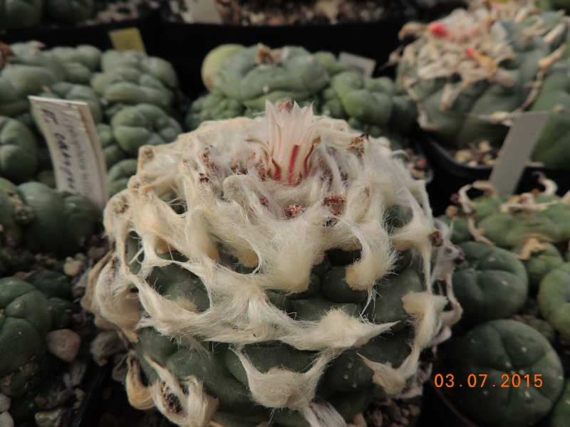 Cacti and Sukkulent in Köln, every day new flowers in the greenhouse Part 126  Bild_333