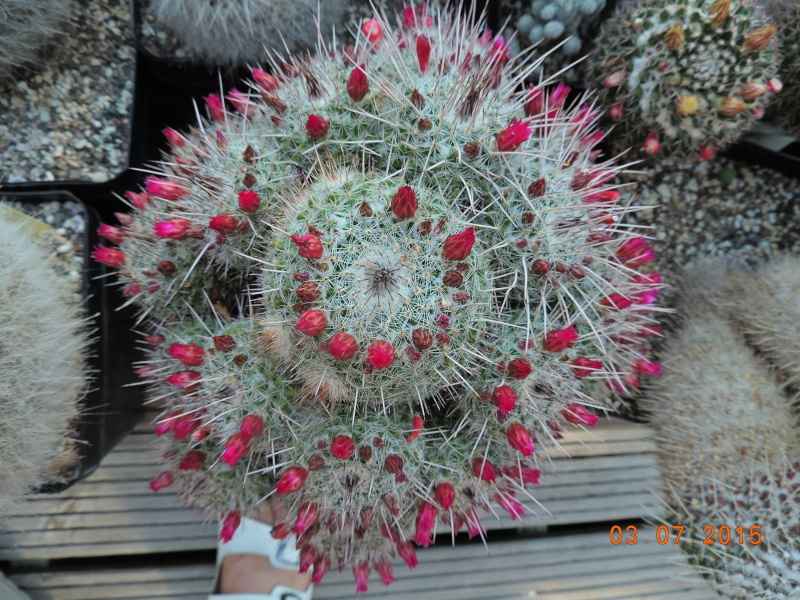 Cacti and Sukkulent in Köln, every day new flowers in the greenhouse Part 126  Bild_335