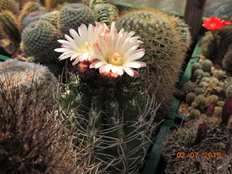Cacti and Sukkulent in Köln, every day new flowers in the greenhouse Part 127 Bild_357