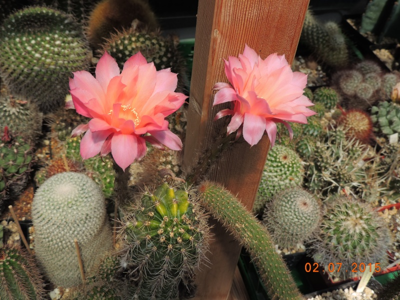 Cacti and Sukkulent in Köln, every day new flowers in the greenhouse Part 127 Bild_360