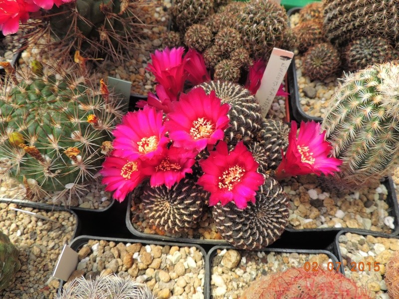 Cacti and Sukkulent in Köln, every day new flowers in the greenhouse Part 127 Bild_361