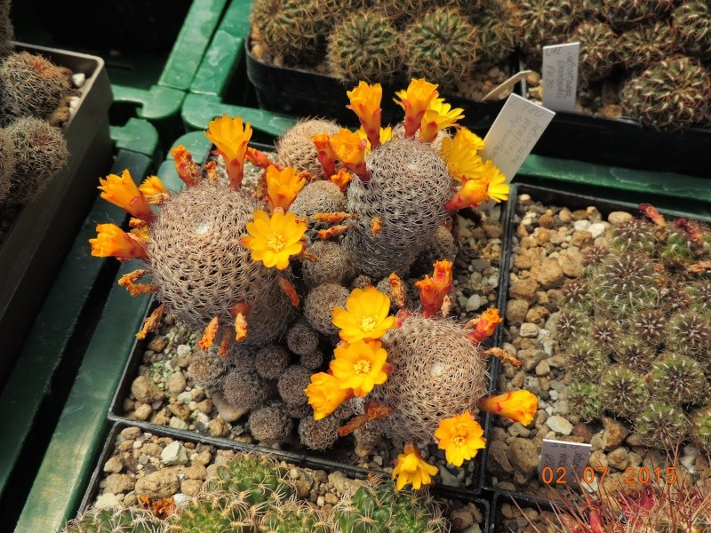 Cacti and Sukkulent in Köln, every day new flowers in the greenhouse Part 127 Bild_370