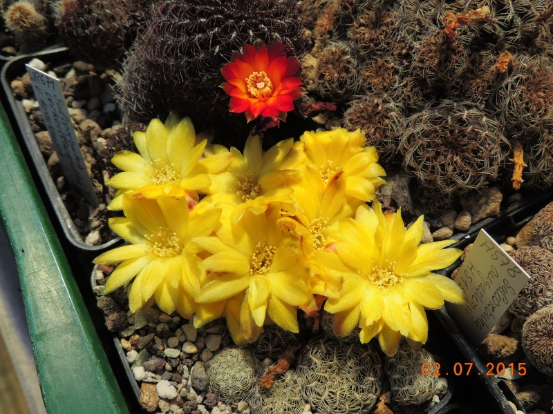 Cacti and Sukkulent in Köln, every day new flowers in the greenhouse Part 127 Bild_375