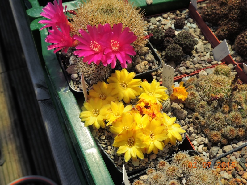 Cacti and Sukkulent in Köln, every day new flowers in the greenhouse Part 127 Bild_376
