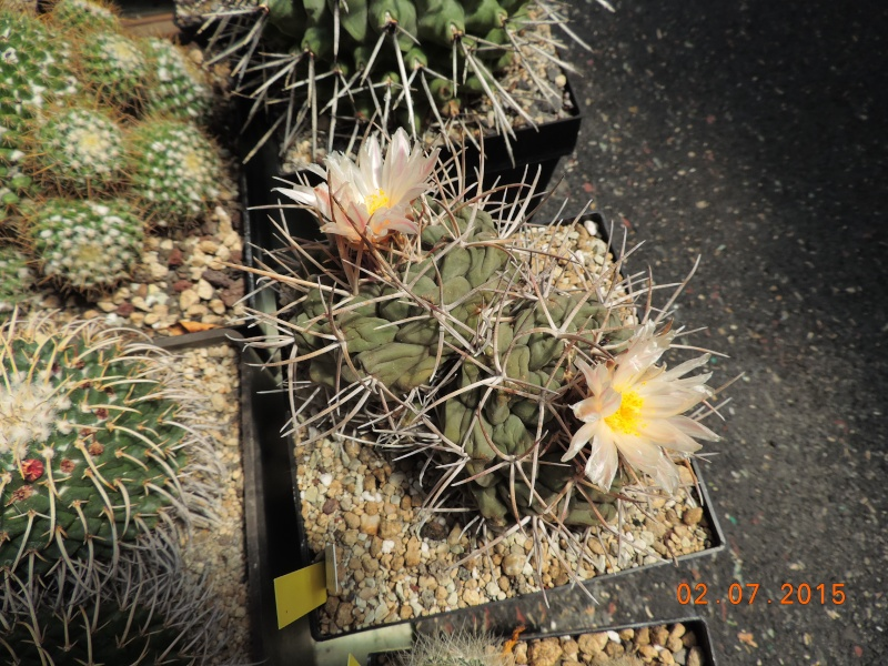 Cacti and Sukkulent in Köln, every day new flowers in the greenhouse Part 127 Bild_385
