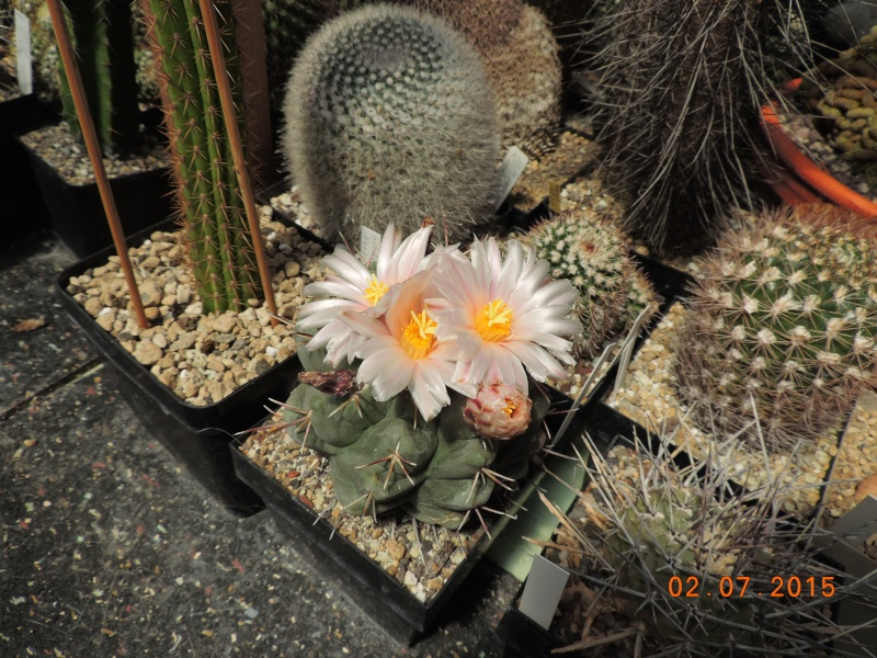 Cacti and Sukkulent in Köln, every day new flowers in the greenhouse Part 127 Bild_386