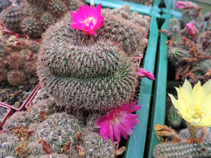 Cacti and Sukkulent in Köln, every day new flowers in the greenhouse Part 127 Bild_393