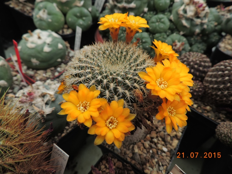 Cacti and Sukkulent in Köln, every day new flowers in the greenhouse Part 127 Bild_398