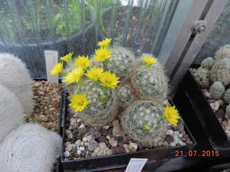 Cacti and Sukkulent in Köln, every day new flowers in the greenhouse Part 127 Bild_406