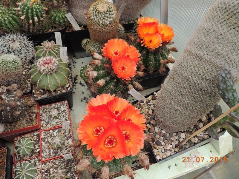 Cacti and Sukkulent in Köln, every day new flowers in the greenhouse Part 127 Bild_407