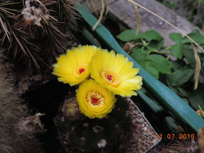 Cacti and Sukkulent in Köln, every day new flowers in the greenhouse Part 127 Bild_408