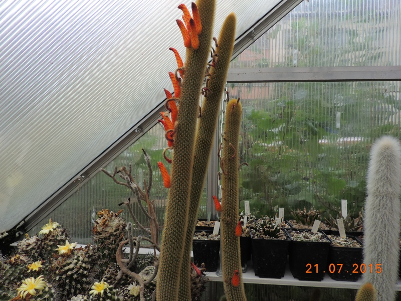 Cacti and Sukkulent in Köln, every day new flowers in the greenhouse Part 127 Bild_412