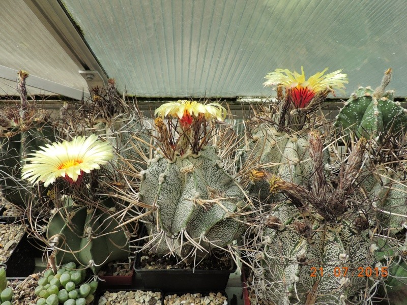 Cacti and Sukkulent in Köln, every day new flowers in the greenhouse Part 127 Bild_419
