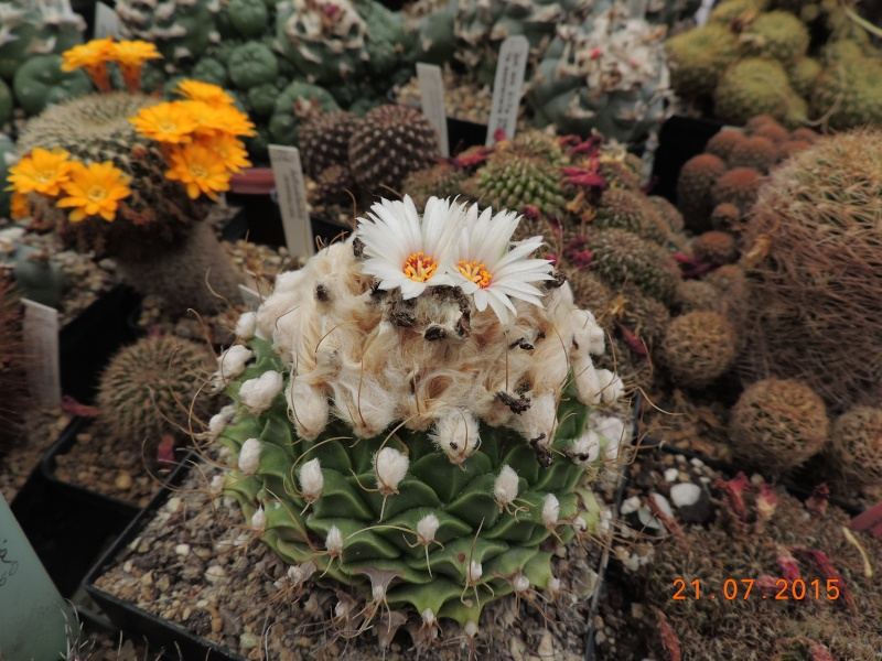Cacti and Sukkulent in Köln, every day new flowers in the greenhouse Part 127 Bild_422