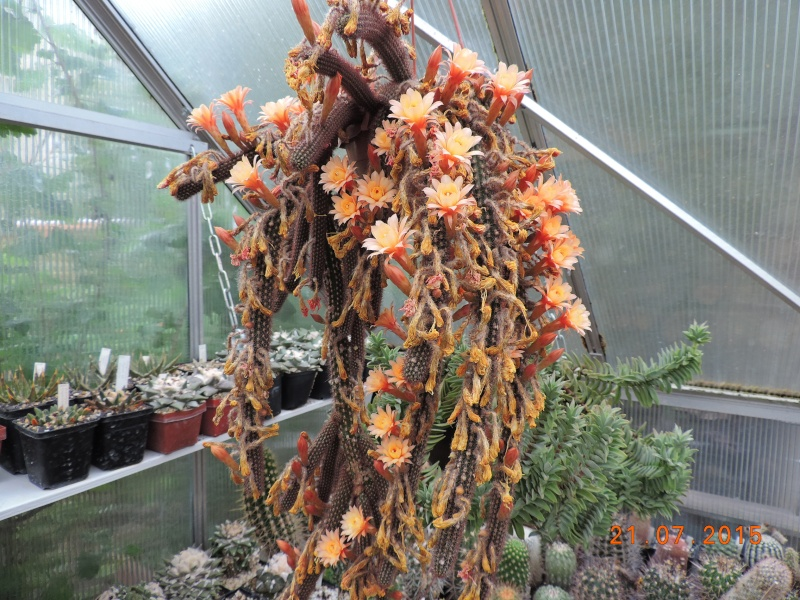 Cacti and Sukkulent in Köln, every day new flowers in the greenhouse Part 127 Bild_427