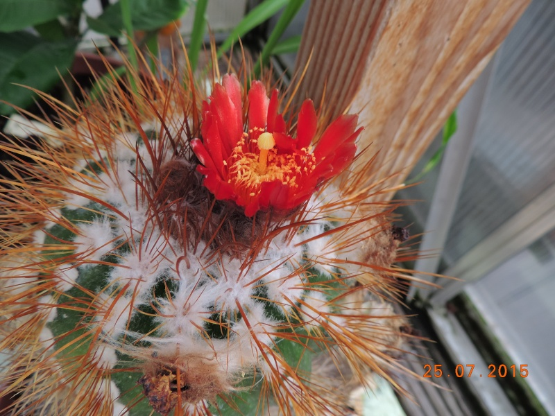 Cacti and Sukkulent in Köln, every day new flowers in the greenhouse Part 127 Bild_435