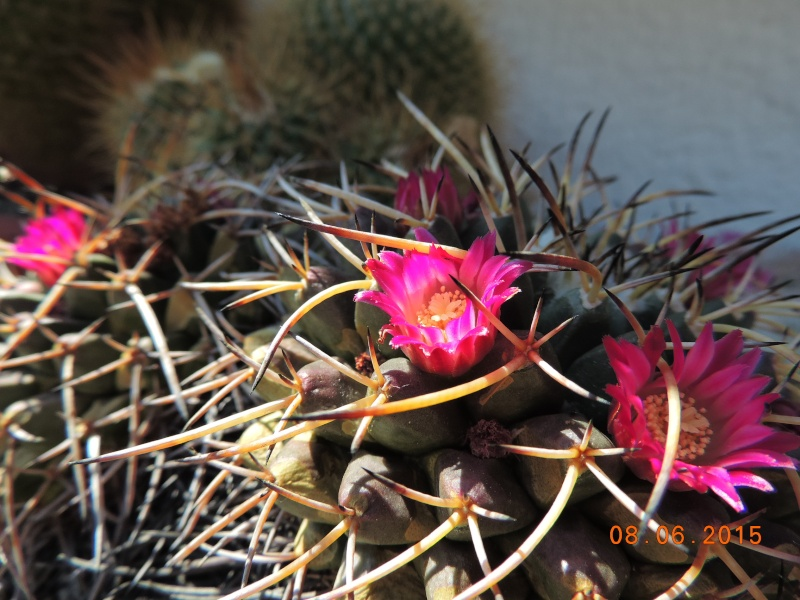 Cacti and Sukkulent in Köln, every day new flowers in the greenhouse Part 128 Bild_451
