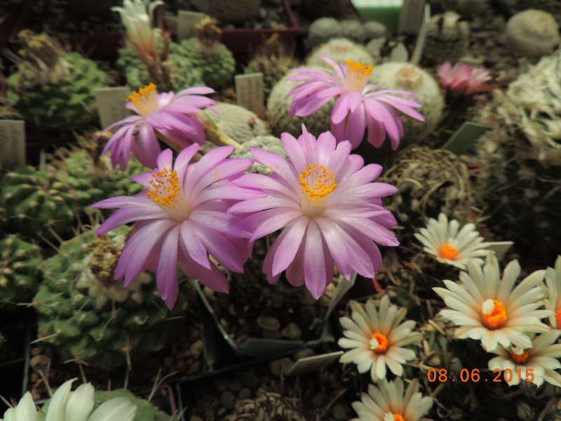 Cacti and Sukkulent in Köln, every day new flowers in the greenhouse Part 128 Bild_458