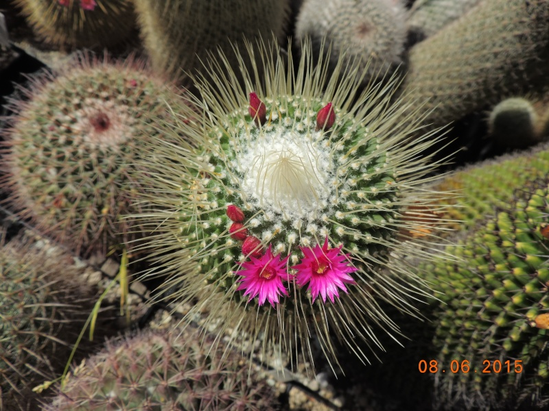 Cacti and Sukkulent in Köln, every day new flowers in the greenhouse Part 128 Bild_468